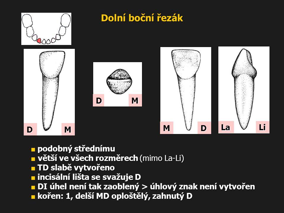Dolní boční řezák M D MD podobný střednímu ■ podobný střednímu větší ve všech rozměrech (mimo La-Li) ■ větší ve všech rozměrech (mimo La-Li) TD slabě