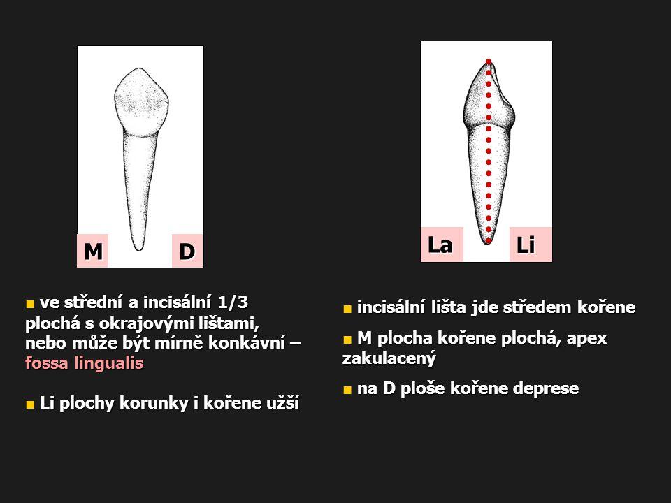 incisální lišta jde středem kořene ■ incisální lišta jde středem kořene M plocha kořene plochá, apex zakulacený ■ M plocha kořene plochá, apex zakulac