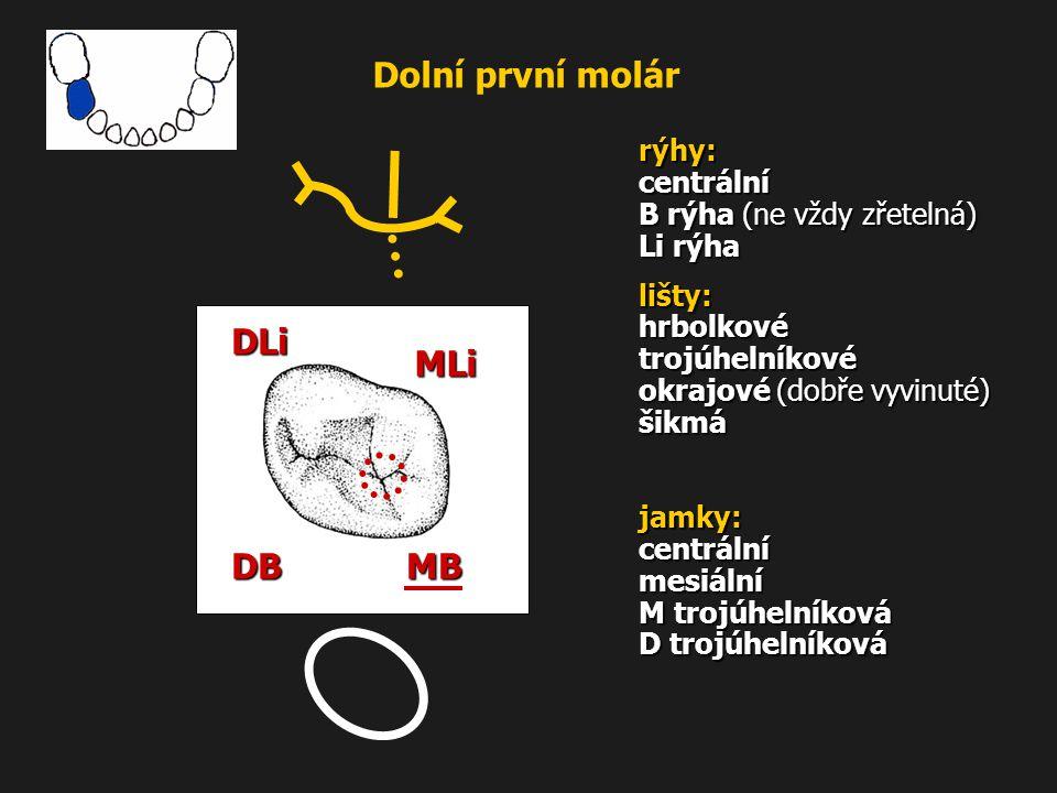 Dolní první molár rýhy: centrální B rýha (ne vždy zřetelná) Li rýha lišty: hrbolkové trojúhelníkové okrajové (dobře vyvinuté) šikmá jamky: centrální m