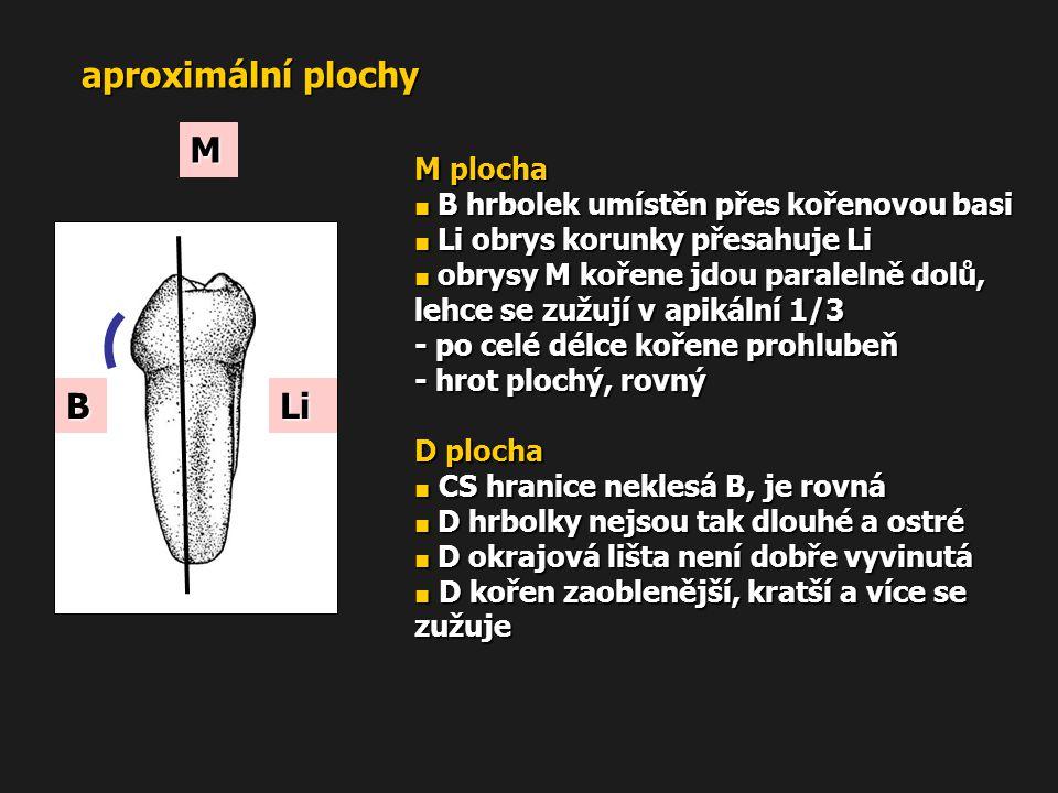 aproximální plochy M plocha ■ B hrbolek umístěn přes kořenovou basi ■ Li obrys korunky přesahuje Li ■ obrysy M kořene jdou paralelně dolů, lehce se zu