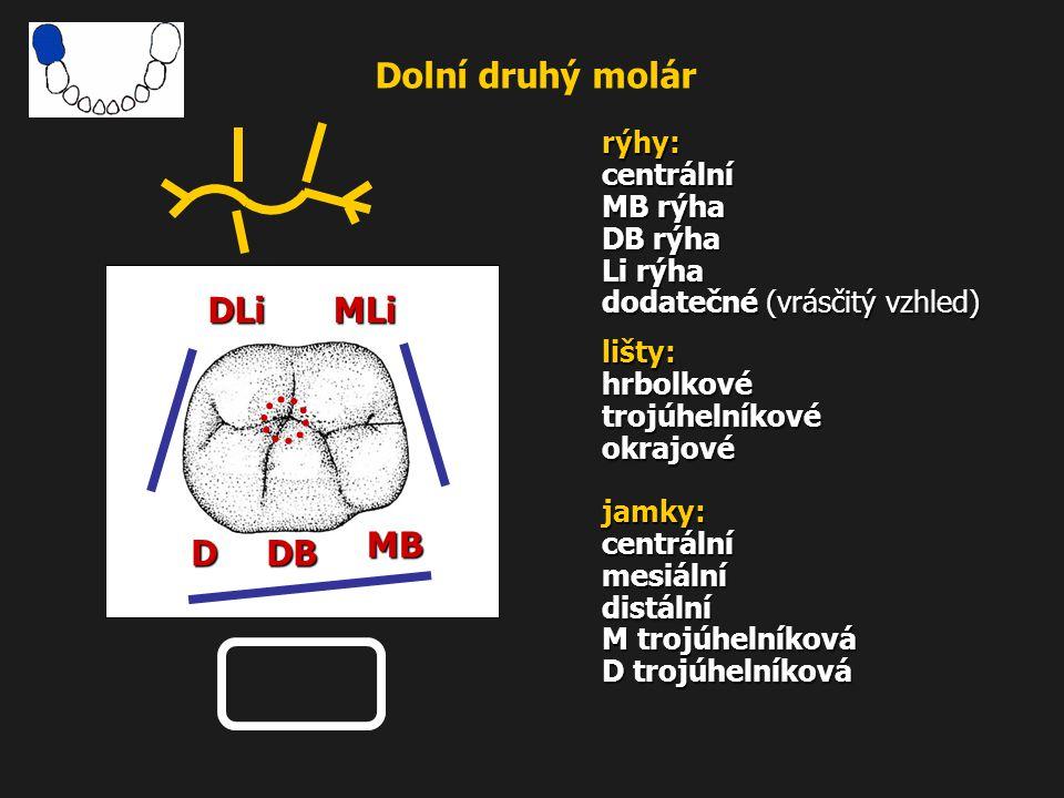 Dolní druhý molár rýhy: centrální MB rýha DB rýha Li rýha dodatečné (vrásčitý vzhled) lišty: hrbolkové trojúhelníkové okrajové jamky: centrální mesiál