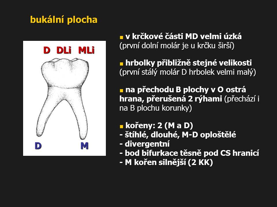 bukální plocha MLiDLiD MD ■ v krčkové části MD velmi úzká (první dolní molár je u krčku širší) ■ hrbolky přibližně stejné velikosti (první stálý molár