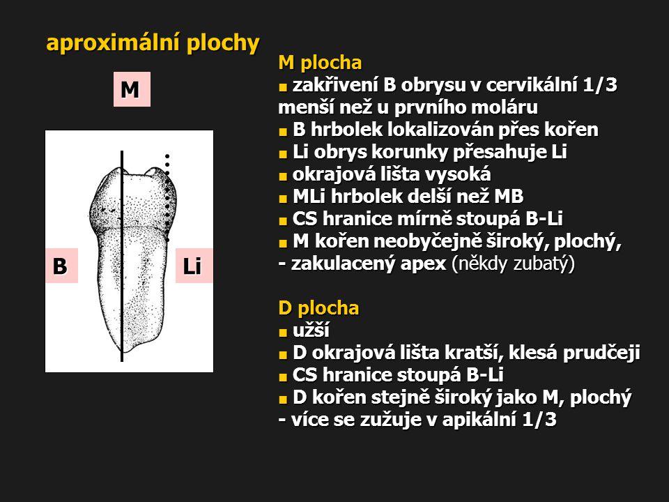 aproximální plochy M plocha ■ zakřivení B obrysu v cervikální 1/3 menší než u prvního moláru ■ B hrbolek lokalizován přes kořen ■ Li obrys korunky pře