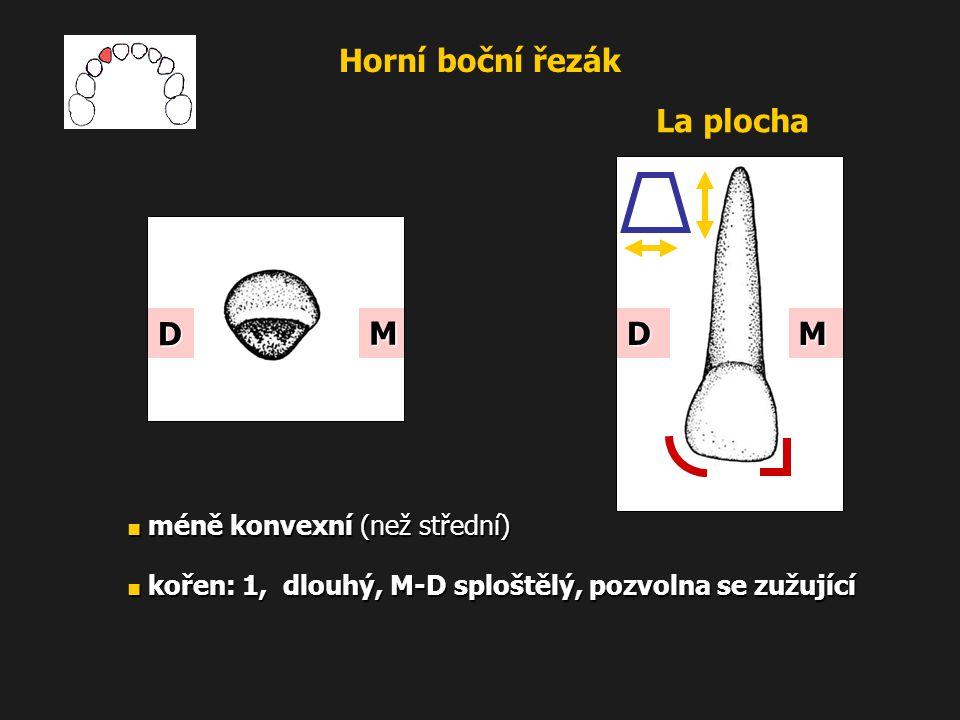 Horní boční řezák ■ méně konvexní (než střední) ■ kořen: 1, dlouhý, M-D sploštělý, pozvolna se zužující La plocha M D MD