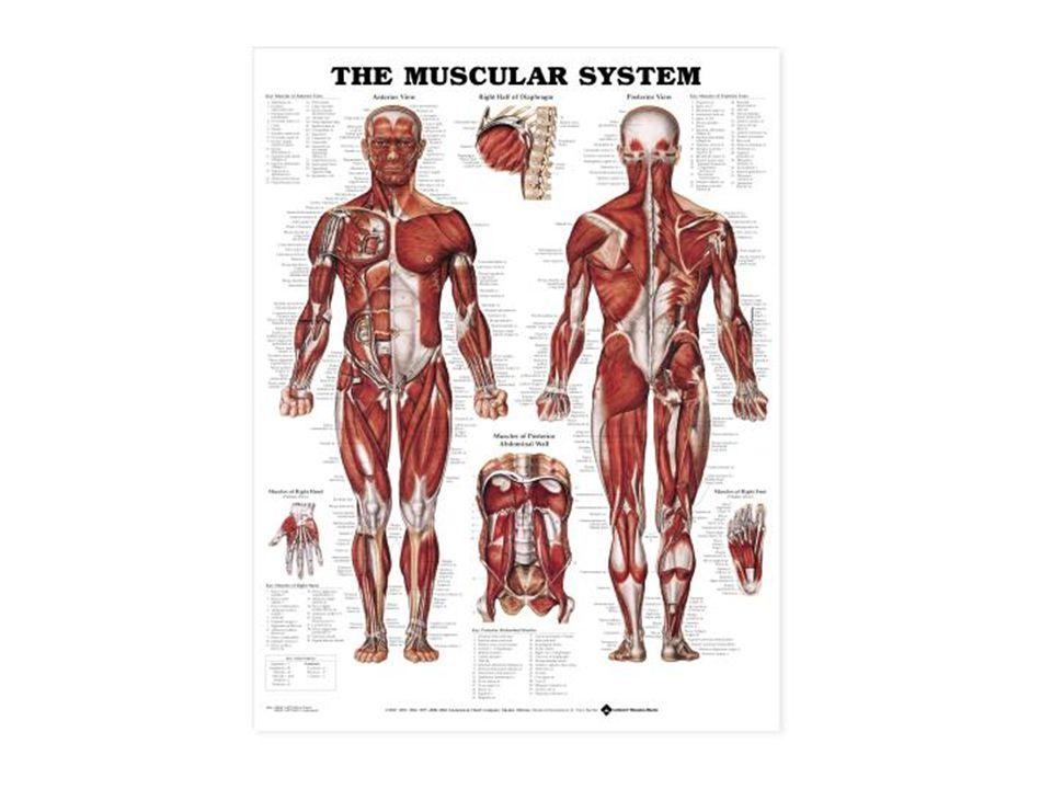 Posturální svaly Svaly posturální jsou ty, jež mají za úkol udržování základní polohy těla (vzpřímené postavy–postury).