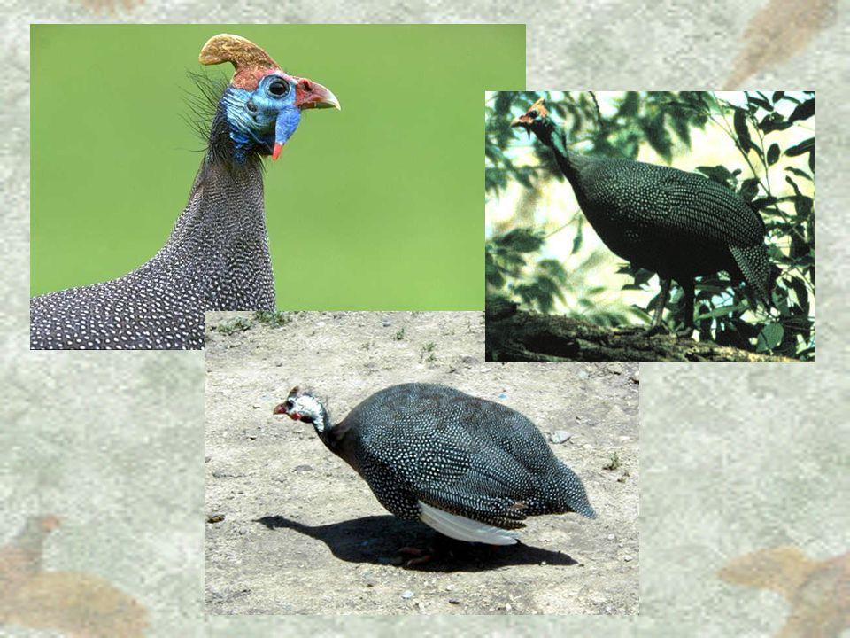 Perlička kropenatá – Numida meleagris angl.Helmeted Guineafowl, něm. Helmperlhuhn