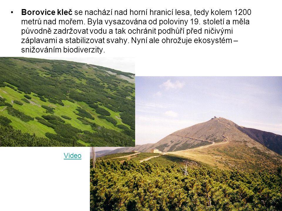 Borovice kleč se nachází nad horní hranicí lesa, tedy kolem 1200 metrů nad mořem. Byla vysazována od poloviny 19. století a měla původně zadržovat vod