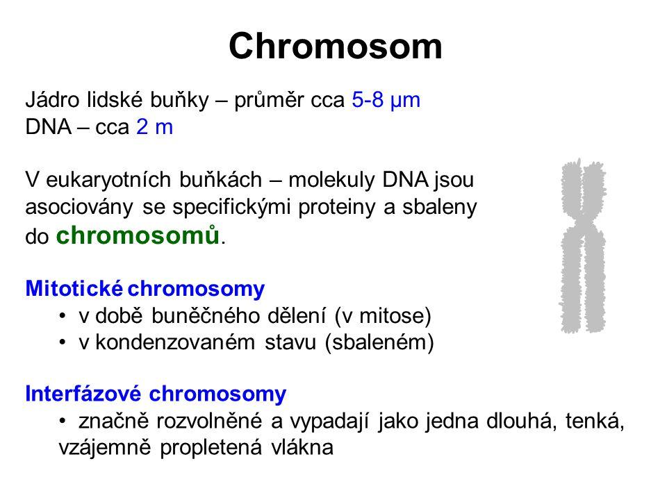 Interfázový chromosom – Korálková forma chromatinu (10-nm vlákno) nukleosom 10 nm Histonový komplex (8 nm) Chromatin – komplex DNA a proteinů Histony – malé proteiny s vysokým obsahem kladně nabitých AMK (lys a arg) Spojníková DNA