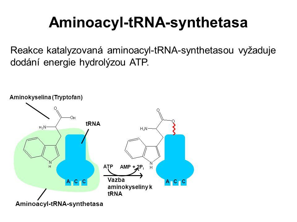 Reakce katalyzovaná aminoacyl-tRNA-synthetasou vyžaduje dodání energie hydrolýzou ATP. ACC Aminoacyl-tRNA-synthetasa Aminokyselina (Tryptofan) ACC ATP