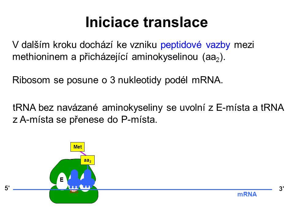 V dalším kroku dochází ke vzniku peptidové vazby mezi methioninem a přicházející aminokyselinou (aa 2 ). Ribosom se posune o 3 nukleotidy podél mRNA.