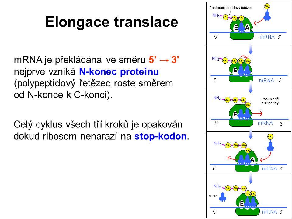 mRNA je překládána ve směru 5' → 3' nejprve vzniká N-konec proteinu (polypeptidový řetězec roste směrem od N-konce k C-konci). Celý cyklus všech tří k