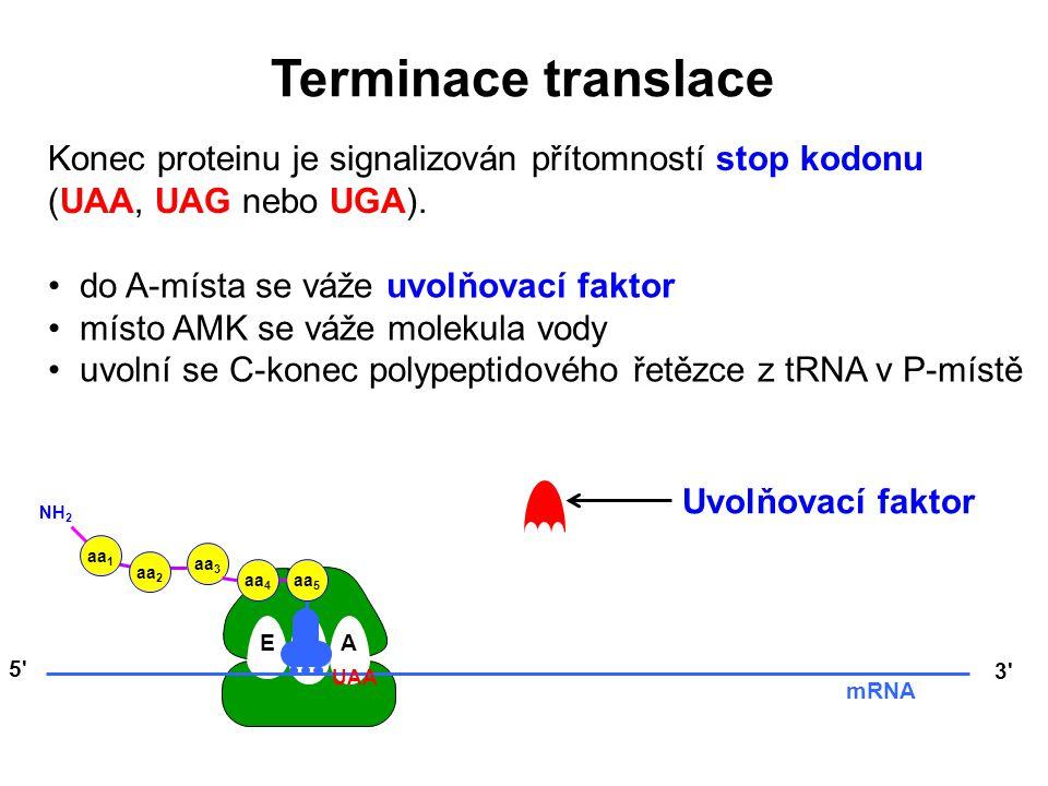 EPA aa 5 aa 4 aa 3 aa 2 aa 1 NH 2 Konec proteinu je signalizován přítomností stop kodonu (UAA, UAG nebo UGA). 5' 3' mRNA UAA do A-místa se váže uvolňo