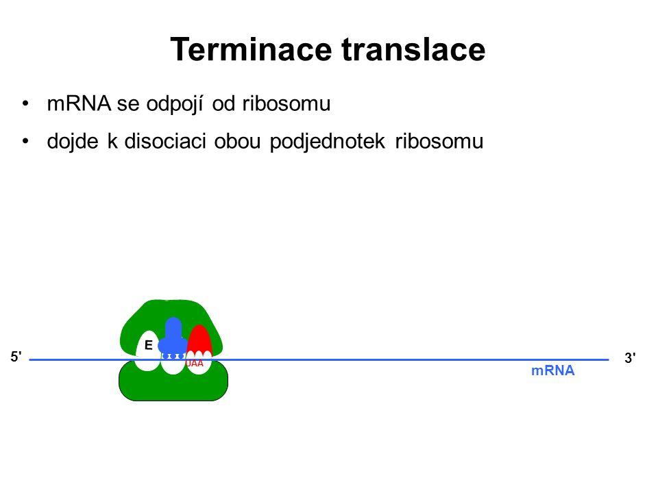 E P A 3' mRNA 5' UAA mRNA se odpojí od ribosomu dojde k disociaci obou podjednotek ribosomu Terminace translace