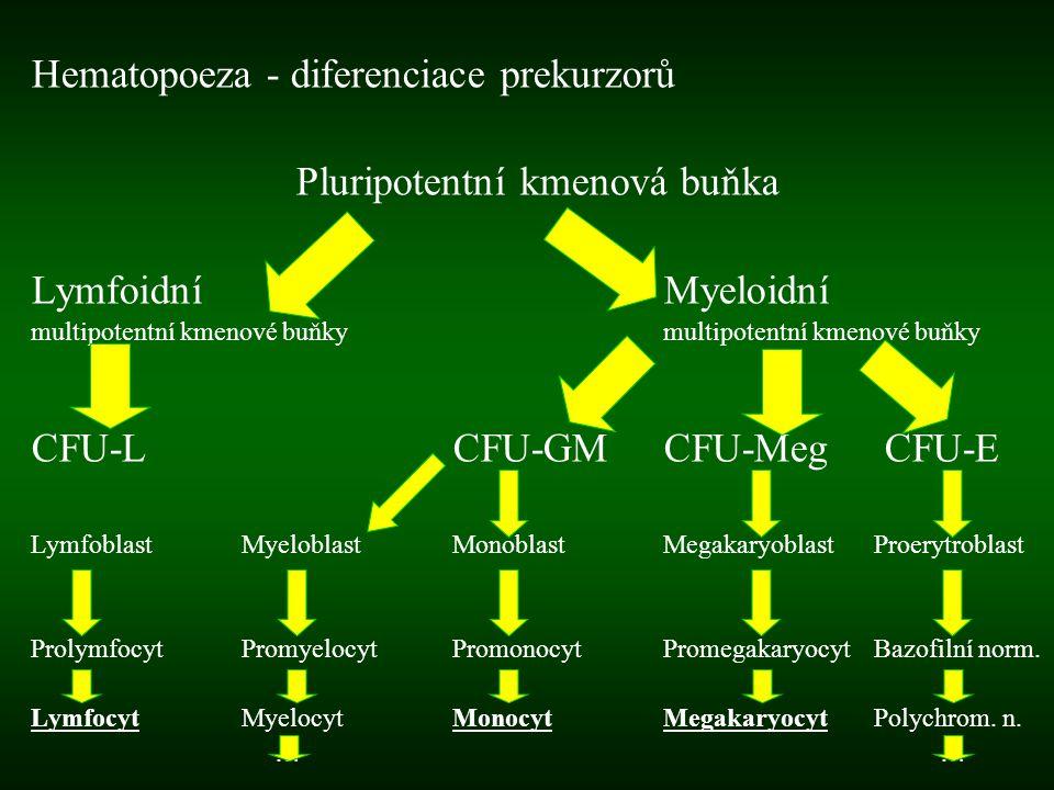 Hematopoeza - diferenciace prekurzorů Pluripotentní kmenová buňka LymfoidníMyeloidní multipotentní kmenové buňky CFU-LCFU-GMCFU-Meg CFU-E LymfoblastMy