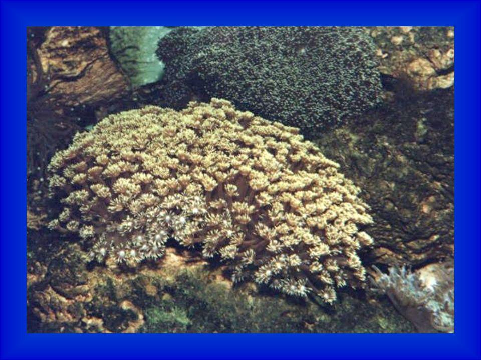 Koráli ve vodách Jadranu Jak je to s koráli.