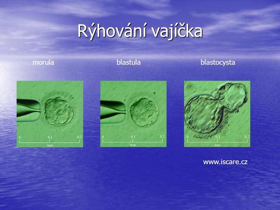 Rýhování vajíčka morulablastulablastocysta www.iscare.cz