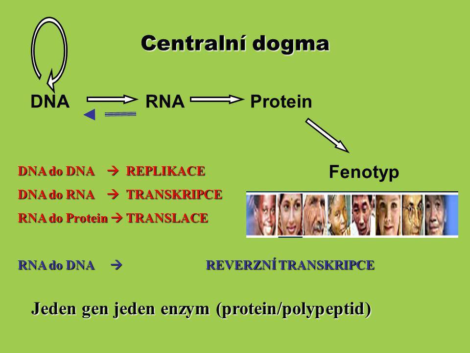 Centralní dogma (kodující sekvence ORF (open reading frame) a nepřekládané regiony – 5´-UTR, 3´-UTR) 5' C AAA 3' 3' 5' N Gen 9,200 bp zralá RNA 1,870 bp Protein 386 aa CDS 1158 bp (coding sequence) AAGCTCGACTAGCGCTAGCCTACCTAGCTCTCCCCTTCC