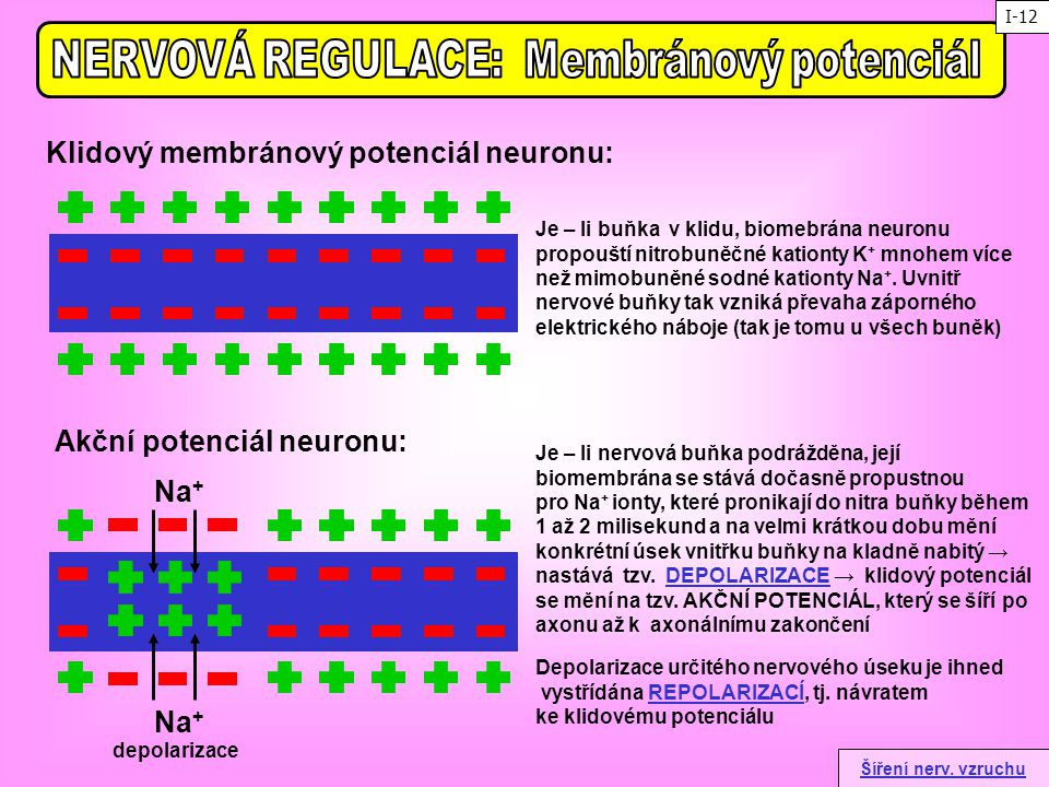 Klidový membránový potenciál neuronu: Akční potenciál neuronu: Je – li nervová buňka podrážděna, její biomembrána se stává dočasně propustnou pro Na +