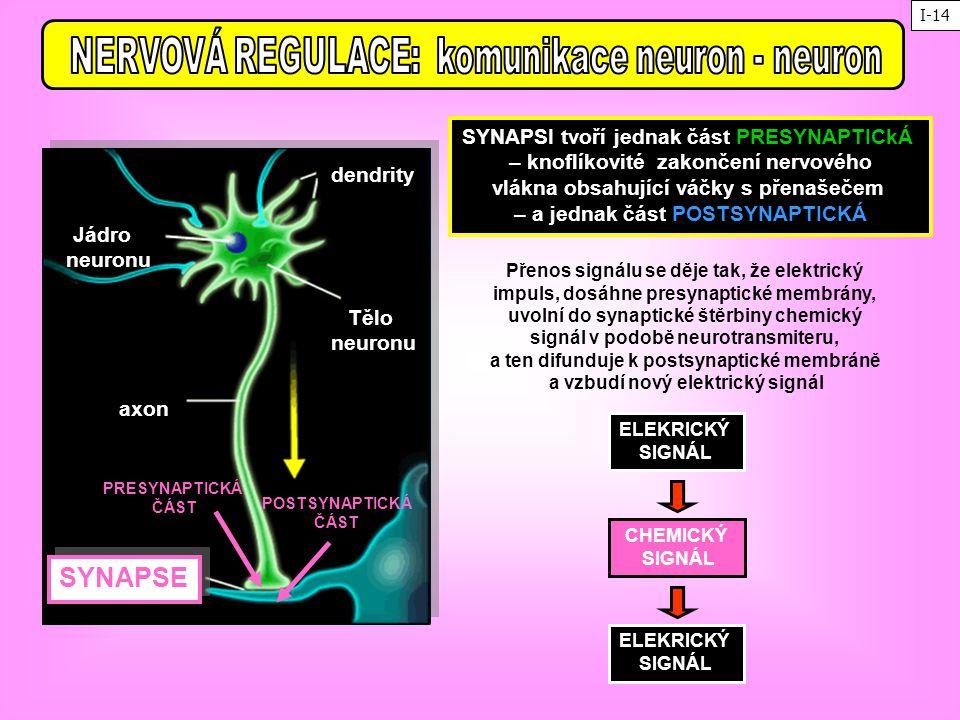 axon Tělo neuronu dendrity Jádro neuronu SYNAPSE SYNAPSI tvoří jednak část PRESYNAPTICkÁ – knoflíkovité zakončení nervového vlákna obsahující váčky s