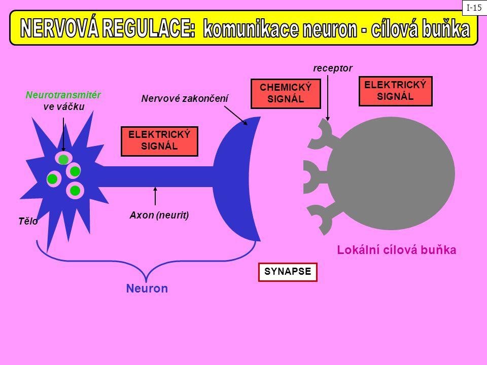 Tělo Axon (neurit) Nervové zakončení Neurotransmitér ve váčku Lokální cílová buňka Neuron receptor SYNAPSE ELEKTRICKÝ SIGNÁL ELEKTRICKÝ SIGNÁL CHEMICK