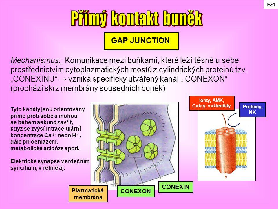 """GAP JUNCTION Mechanismus: Komunikace mezi buňkami, které leží těsně u sebe prostřednictvím cytoplazmatických mostů z cylindrických proteinů tzv. """"CONE"""