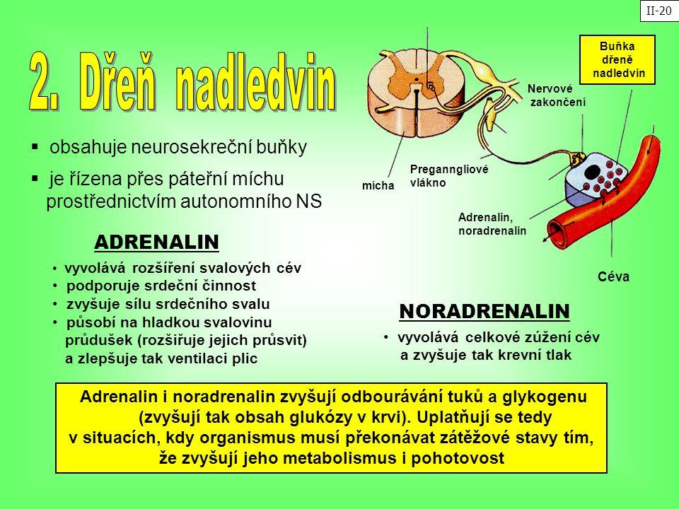  obsahuje neurosekreční buňky ADRENALIN vyvolává rozšíření svalových cév podporuje srdeční činnost zvyšuje sílu srdečního svalu působí na hladkou sva
