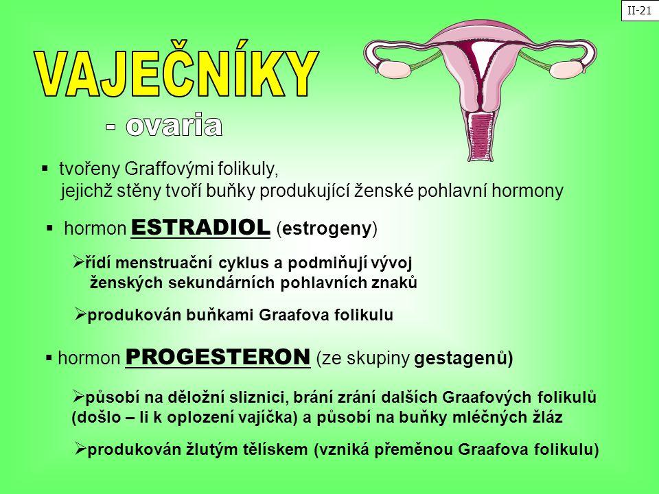  tvořeny Graffovými folikuly, jejichž stěny tvoří buňky produkující ženské pohlavní hormony  hormon ESTRADIOL (estrogeny)  řídí menstruační cyklus