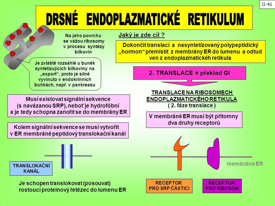 Na jeho povrchu se vážou ribosomy v procesu syntézy bílkovin TRANSLACE NA RIBOSOMECH ENDOPLAZMATICKÉHO RETIKULA ( 2. fáze translace ) 2. TRANSLACE = p