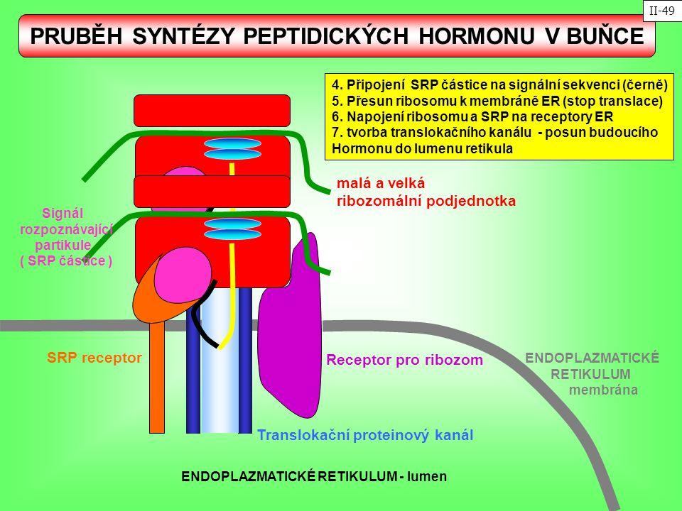 Translokační proteinový kanál SRP receptor Receptor pro ribozom malá a velká ribozomální podjednotka ENDOPLAZMATICKÉ RETIKULUM membrána Signál rozpozn