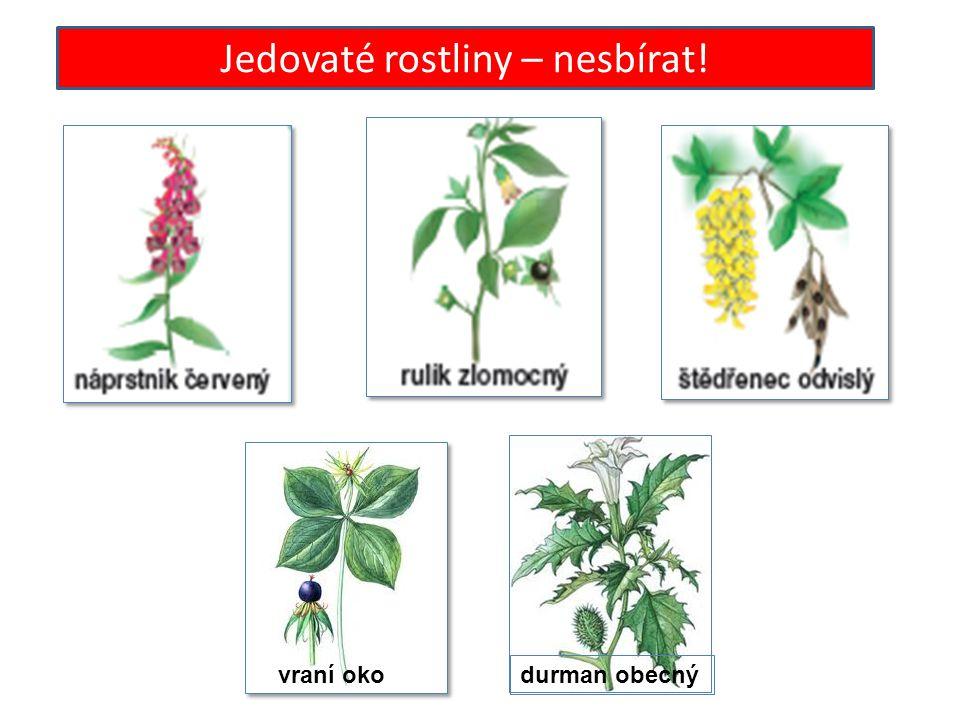 Jedovaté rostliny – nesbírat! vraní oko durman obecný