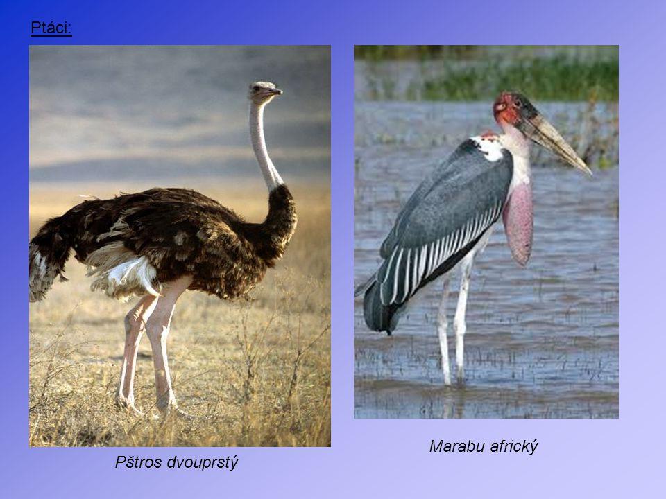 Ptáci: Pštros dvouprstý Marabu africký
