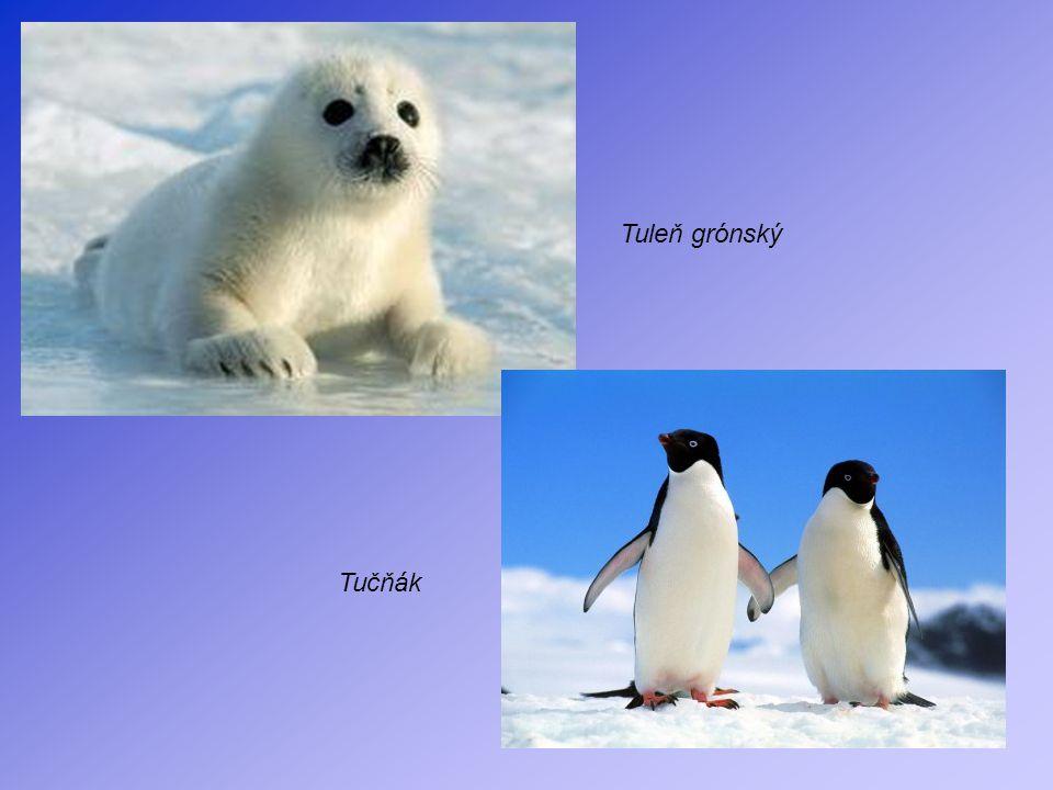 Tuleň grónský Tučňák