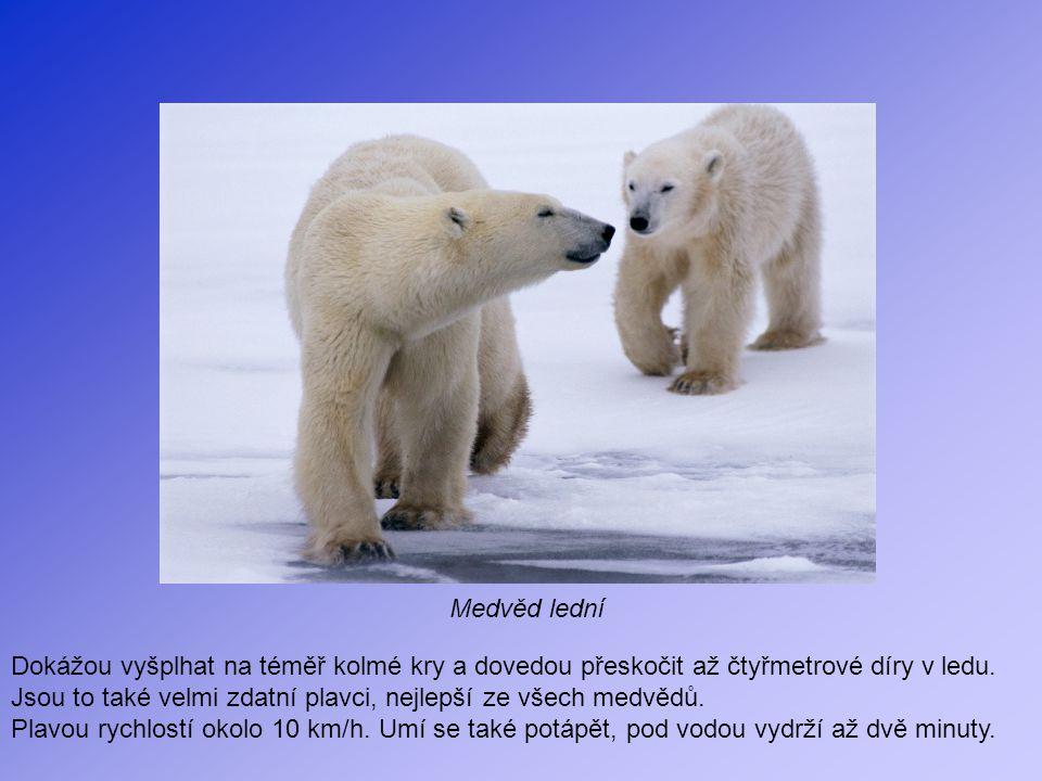 Medvěd lední Dokážou vyšplhat na téměř kolmé kry a dovedou přeskočit až čtyřmetrové díry v ledu. Jsou to také velmi zdatní plavci, nejlepší ze všech m