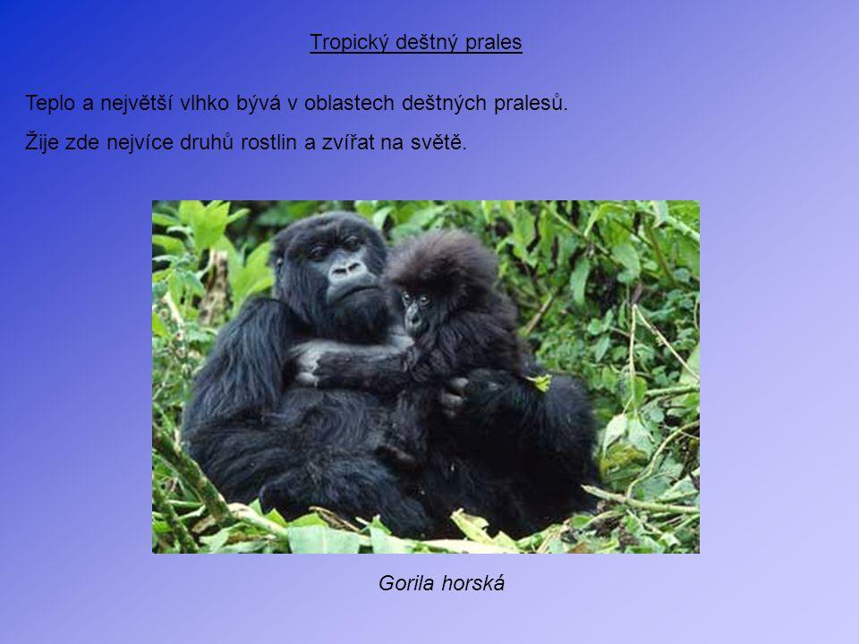 Tropický deštný prales Teplo a největší vlhko bývá v oblastech deštných pralesů. Žije zde nejvíce druhů rostlin a zvířat na světě. Gorila horská