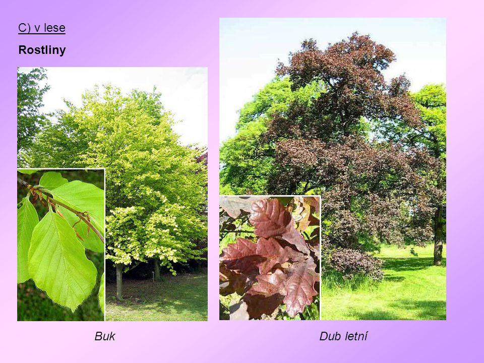 C) v lese Rostliny BukDub letní