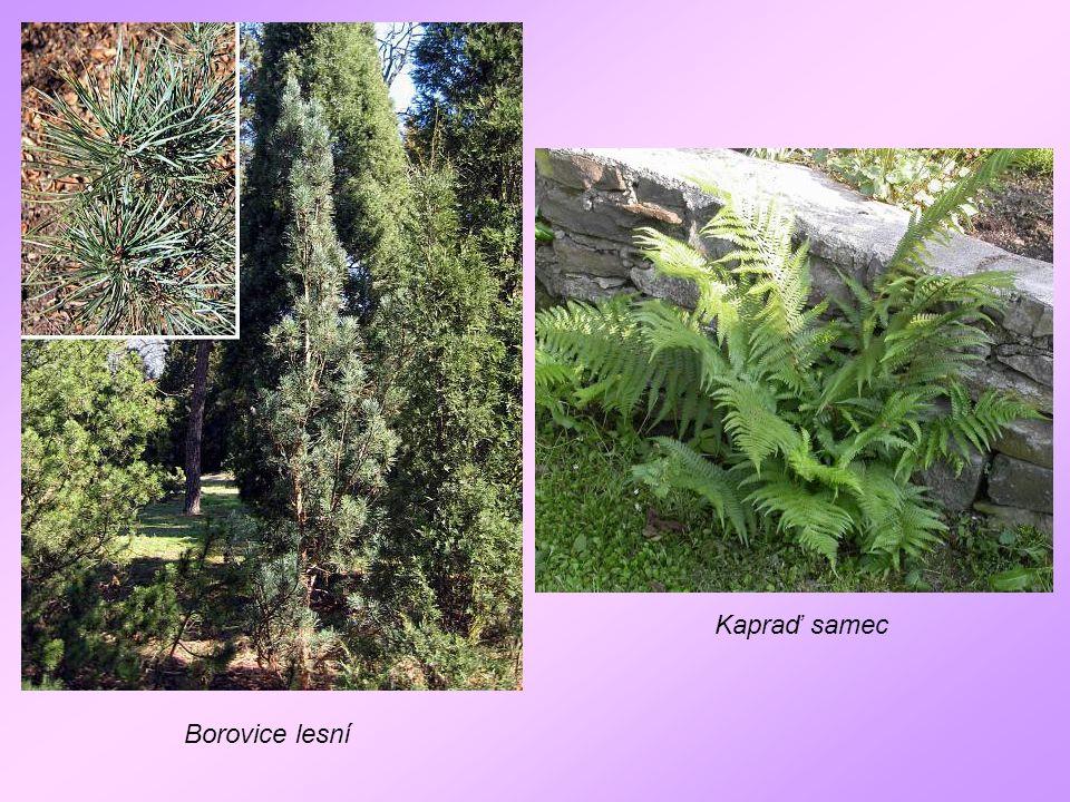 Borovice lesní Kapraď samec