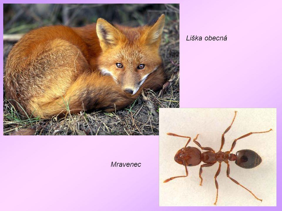 Liška obecná Mravenec