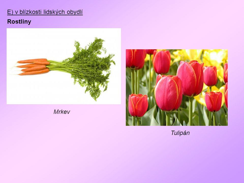 E) v blízkosti lidských obydlí Rostliny Mrkev Tulipán