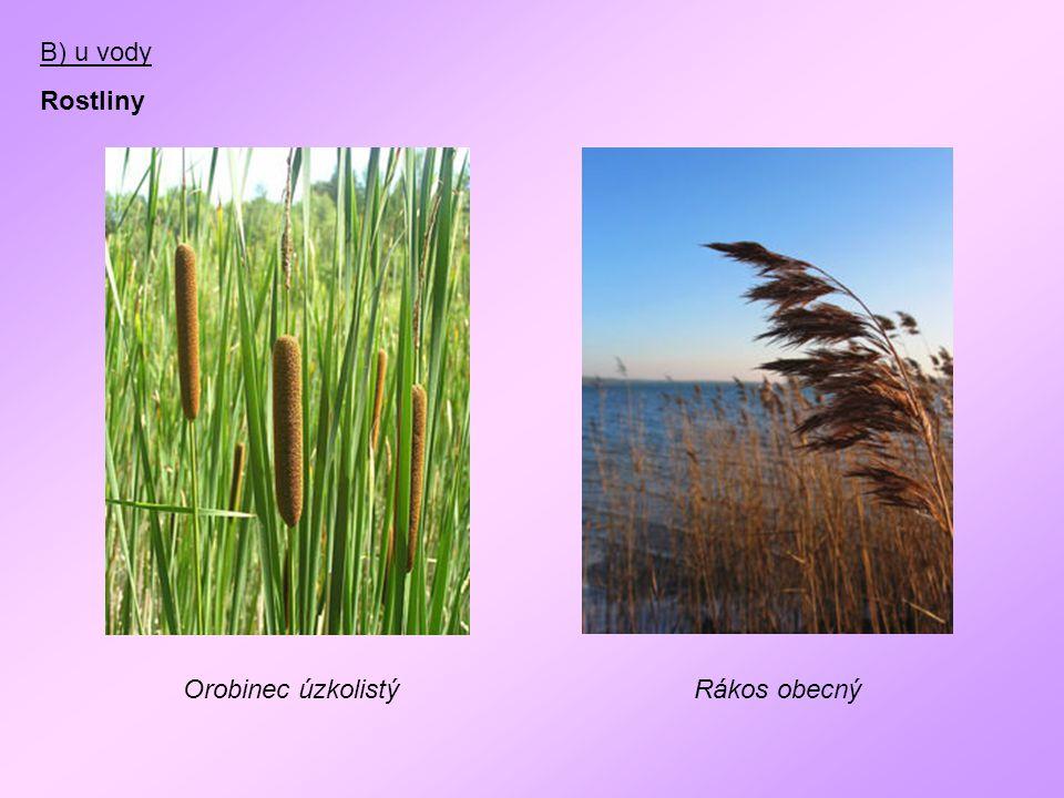 B) u vody Rostliny Orobinec úzkolistýRákos obecný
