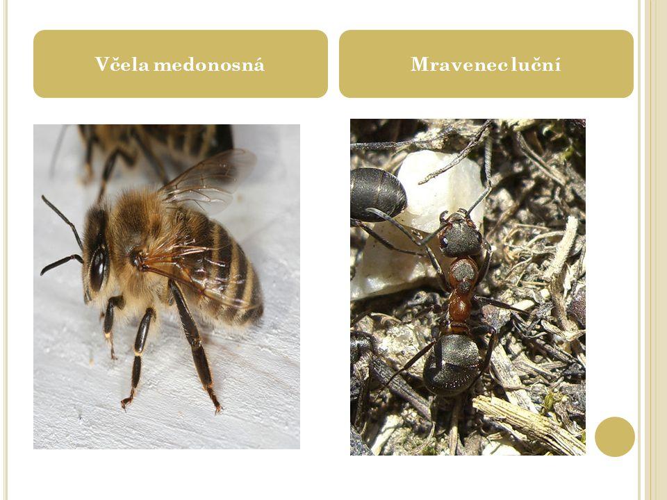 Včela medonosnáMravenec luční