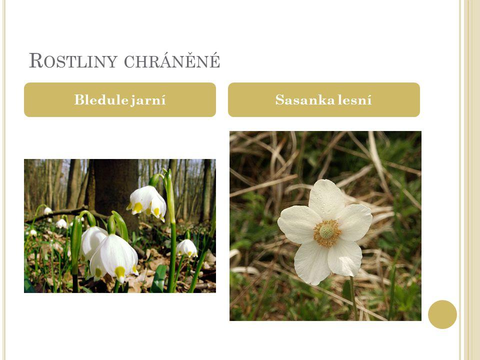 R OSTLINY CHRÁNĚNÉ Bledule jarníSasanka lesní