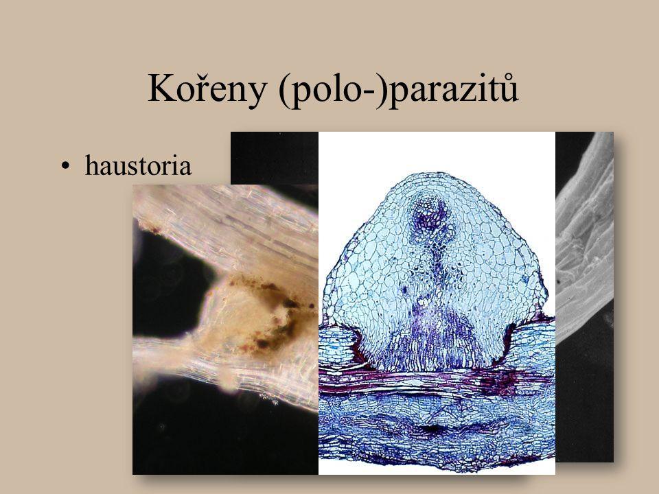 Kořeny (polo-)parazitů haustoria