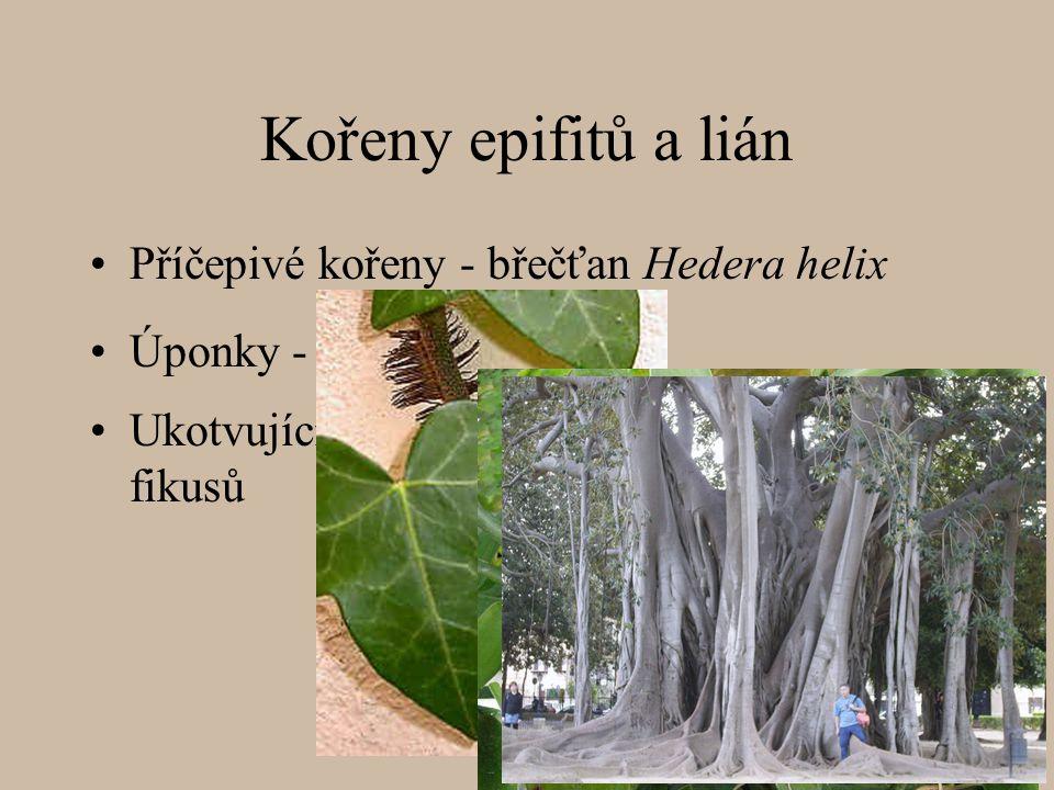 Kořeny epifitů a lián Příčepivé kořeny - břečťan Hedera helix Ukotvující kořeny fikusů Úponky - vanilka