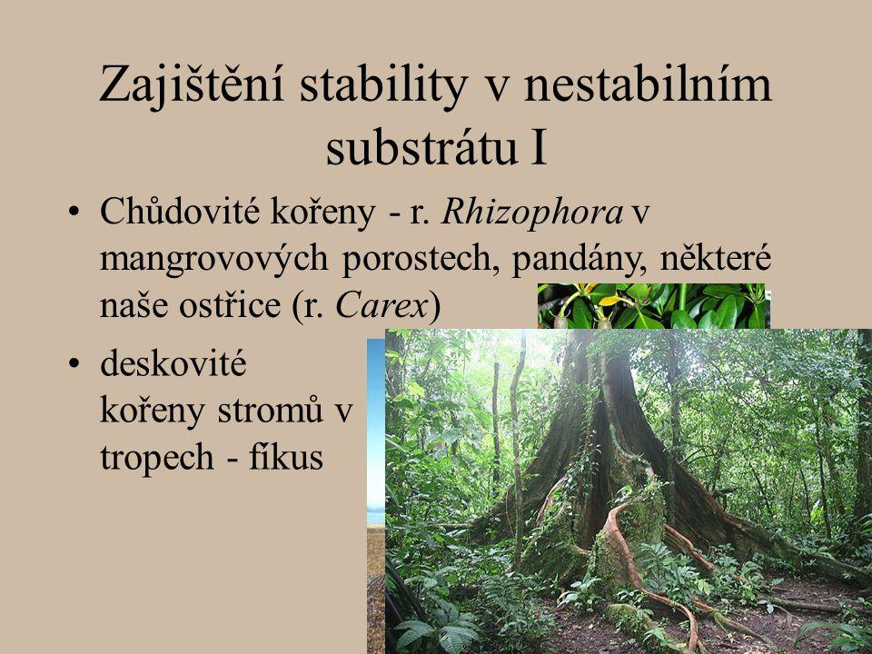 Zajištění stability v nestabilním substrátu I deskovité kořeny stromů v tropech - fíkus Chůdovité kořeny - r.