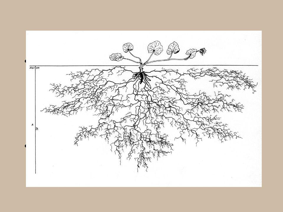 Kořenové hlízy - orsej jarní (Ficaria), tužebník obecný (Filipendula vulgaris) Zásobní a propagační funkce Dužnaté kořeny - mrkev (extrémně vyvinutý parenchym sekundárního floemu a xylemu hypokotylu a hlavního kořene), cukrová řepa (anomální sekundární tloustnutí)