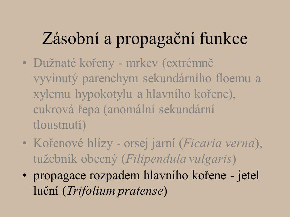 Zásobní a propagační funkce Dužnaté kořeny - mrkev (extrémně vyvinutý parenchym sekundárního floemu a xylemu hypokotylu a hlavního kořene), cukrová řepa (anomální sekundární tloustnutí) Kořenové hlízy - orsej jarní (Ficaria verna), tužebník obecný (Filipendula vulgaris) propagace rozpadem hlavního kořene - jetel luční (Trifolium pratense)