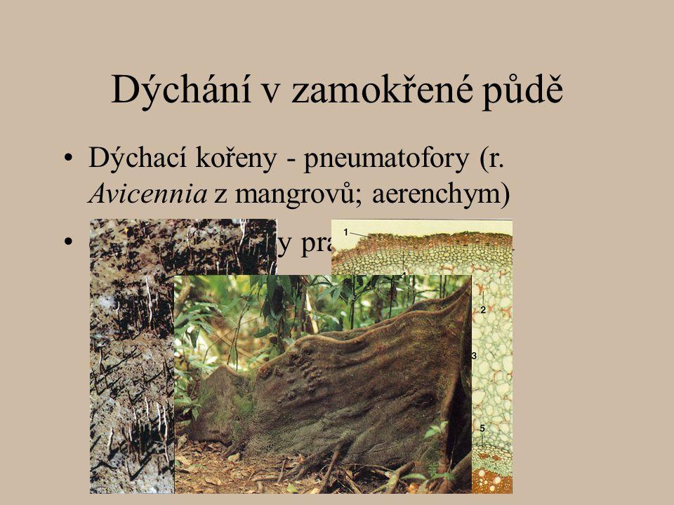 Dýchání v zamokřené půdě deskovité kořeny pralesních stromů Dýchací kořeny - pneumatofory (r.
