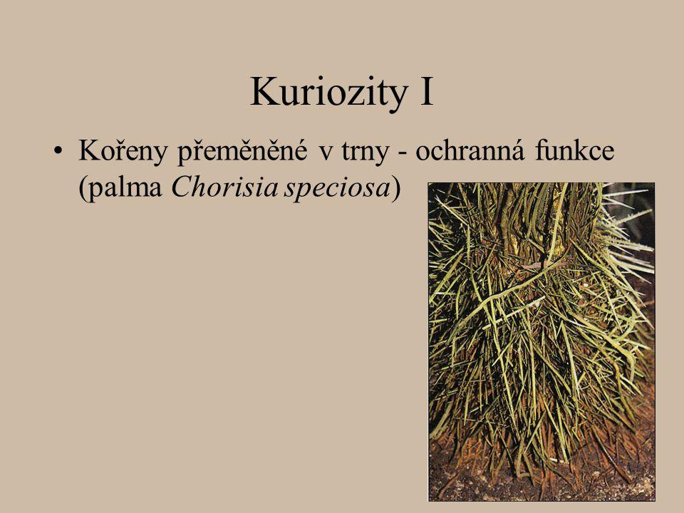 Kuriozity I Kořeny přeměněné v trny - ochranná funkce (palma Chorisia speciosa)