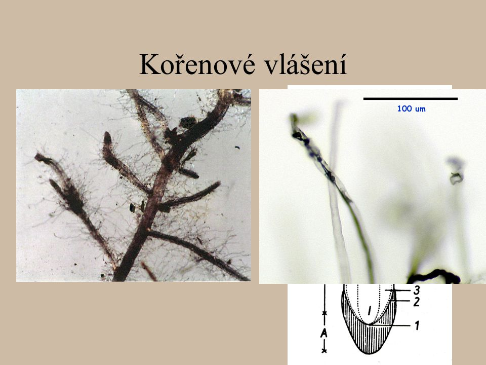 Adventivní kořeny stromových kapradin (např.r.