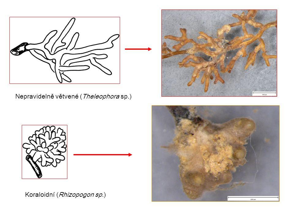 Nepravidelně větvené (Theleophora sp.) Koraloidní (Rhizopogon sp.)